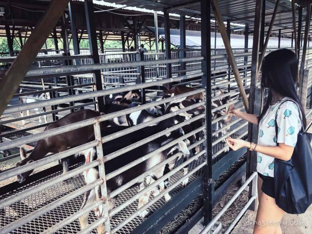Farm hopping in Singapore-hay dairies 2
