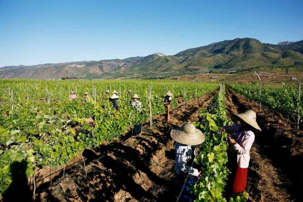 red mountain estate vineyard inle lake myanmar